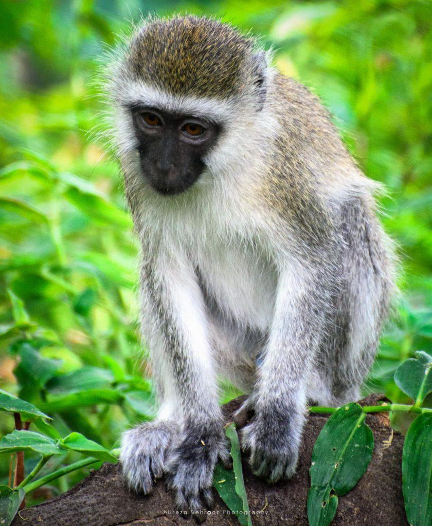 Vervet Monkey II