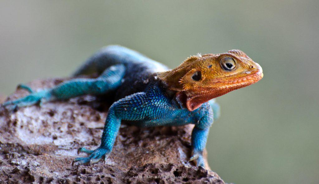 African rainbow lizard!