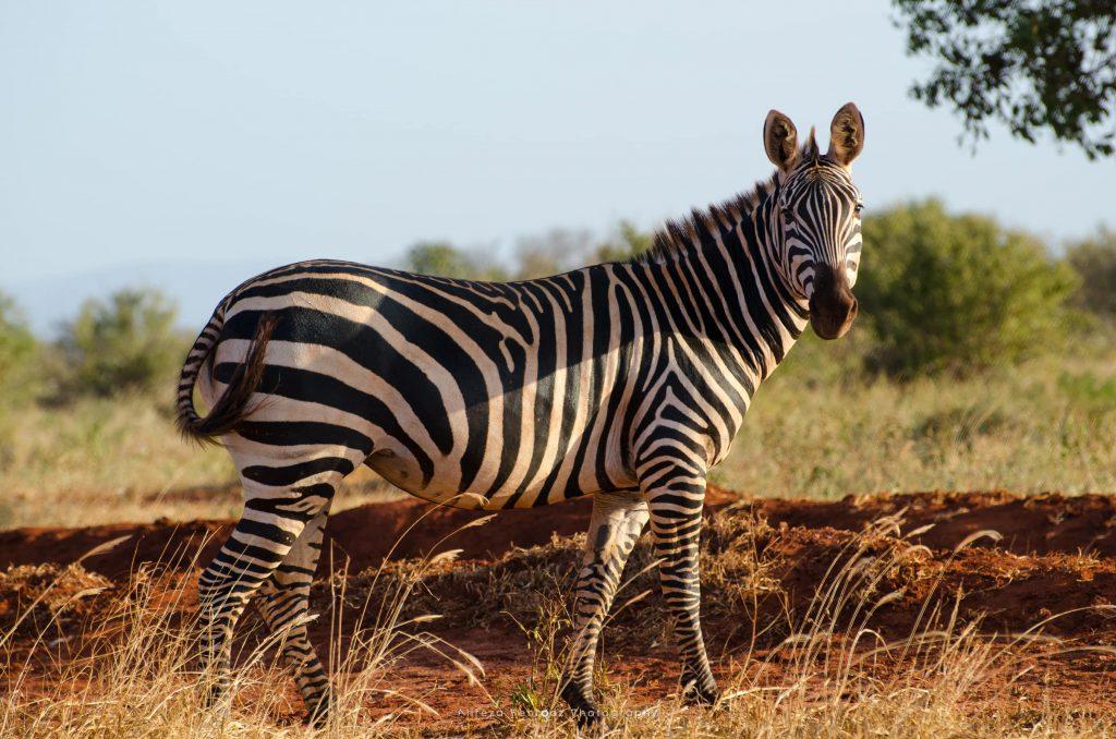 Zebra Pose!