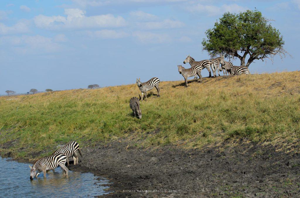 African zebra!