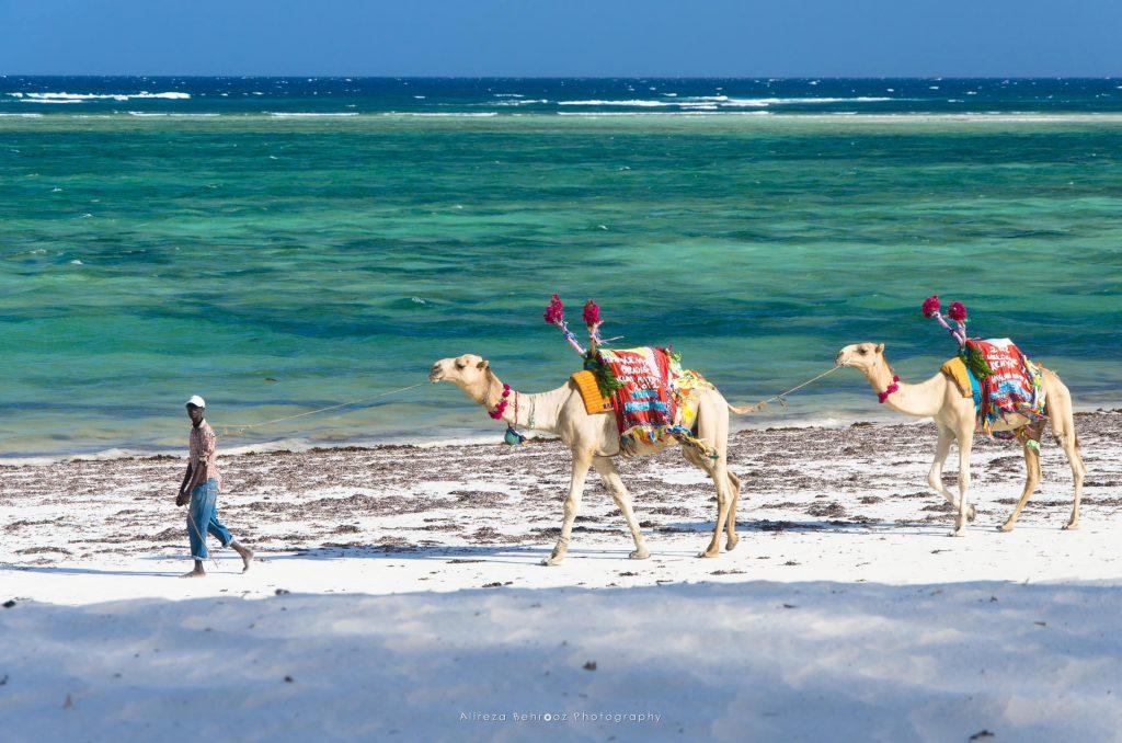 Beach camels!