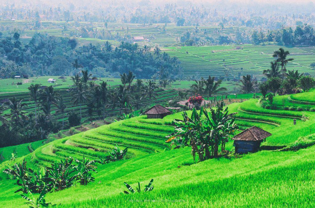 Jatiluwih Rice Fields IV
