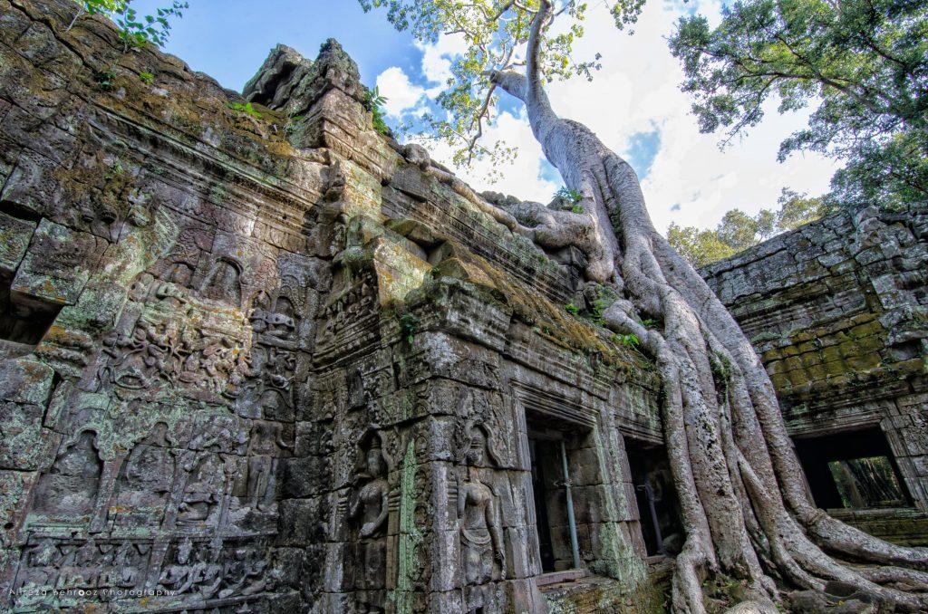 Tetrameles nudiflora tree in Ta Prohm