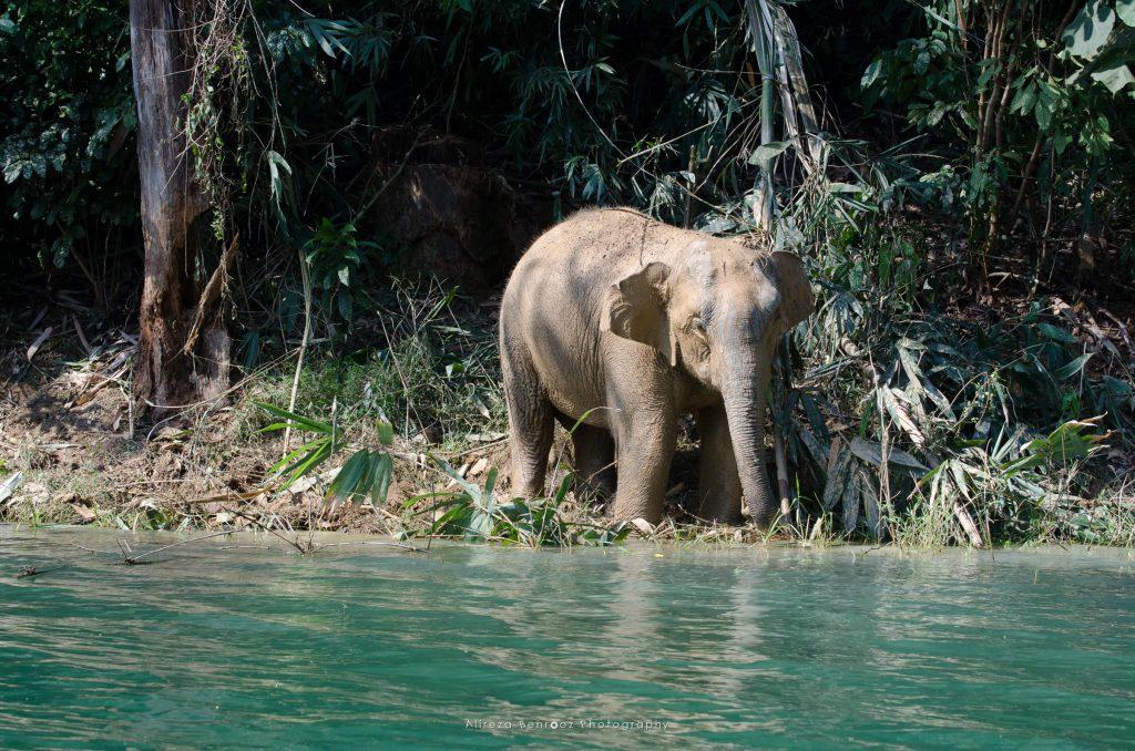 Baby elephant, Khao Sok national park, Thailand