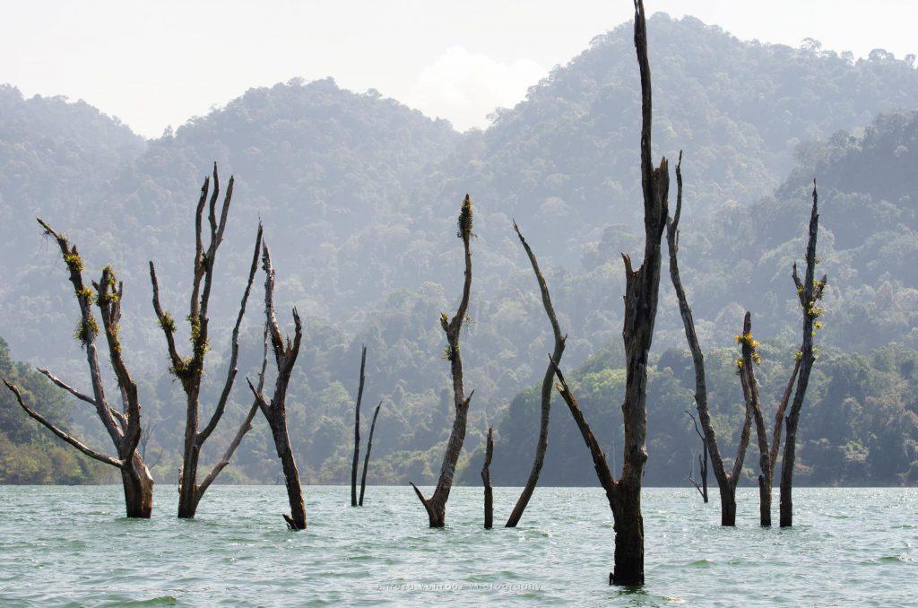 Dead trees, Khao Sok national park, Thailand