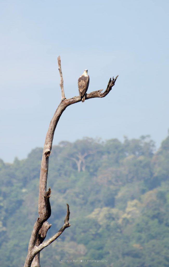 Eagle, Khao Sok national park, Thailand